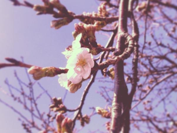桜の開花とバスの動き
