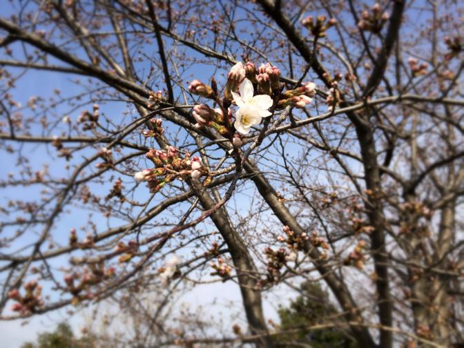 2014年3月29日釣行 まだ桜は二分咲き