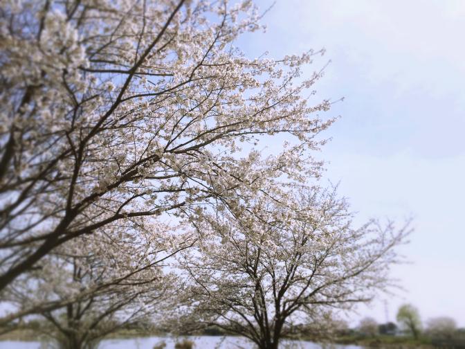 2014年4月1日釣行 桜満開