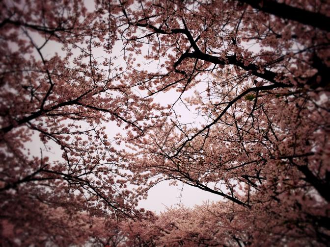 2015年4月4日釣行 桜は満開!! でも、天気はあいにくの曇り空